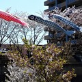 桜と鯉のぼり@21.4.5