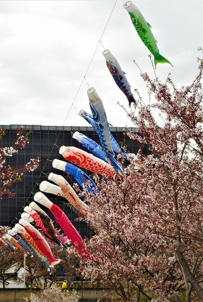 桜並木と鯉のぼり@黒崎水路@21.4.6