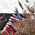 Photos: 桜並木と鯉のぼり@黒崎水路@21.4.6