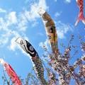 Photos: 真鯉の背にしがみ付く@元気な金太郎21.4.7