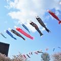 Photos: 高く泳ぐや 鯉のぼり@21.4.7