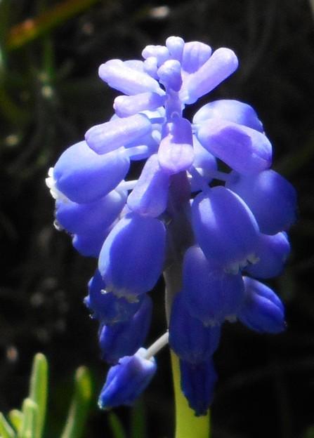 野に咲く ムスカリの花@21.4.5