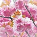 Photos: 牡丹桜が満開@瑠璃山21.4.8