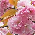 Photos: 見頃を迎えた八重桜@瑠璃山21.4.8