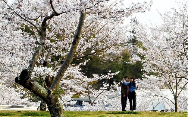 春爛漫の桜山@千光寺公園