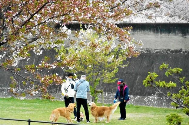 ワンコと散歩@桜舞い散る21.4.6
