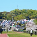 Photos: 満開の桜と鯉のぼり@21.4.5