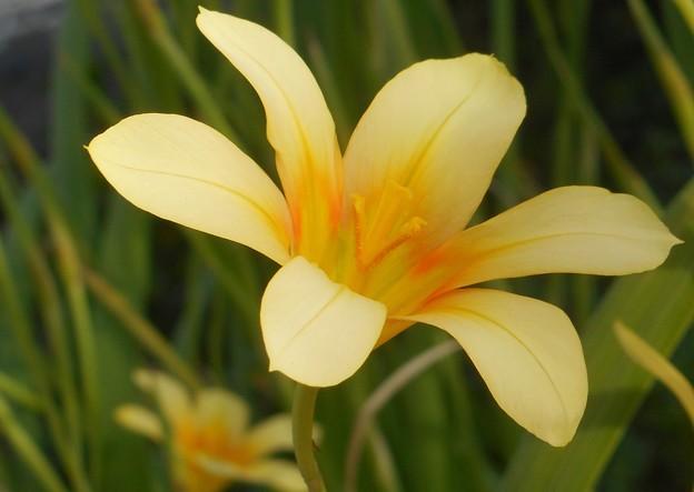 新緑の庭に咲く花@ホメリア@アヤメ科21.4.15