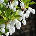 ドウダンツツジの白い花@21.4.14
