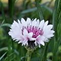 新緑に咲く 矢車菊(コーンフラワー)の花@21.4.14