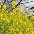 菜の花と桜と電車@JR山陽