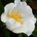 Photos: オールドローズ(ナニワイバラ)の白い花@21.4.14