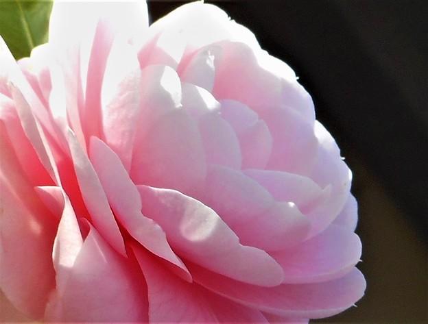 乙女(おとめ)さん@千光寺山に咲く椿