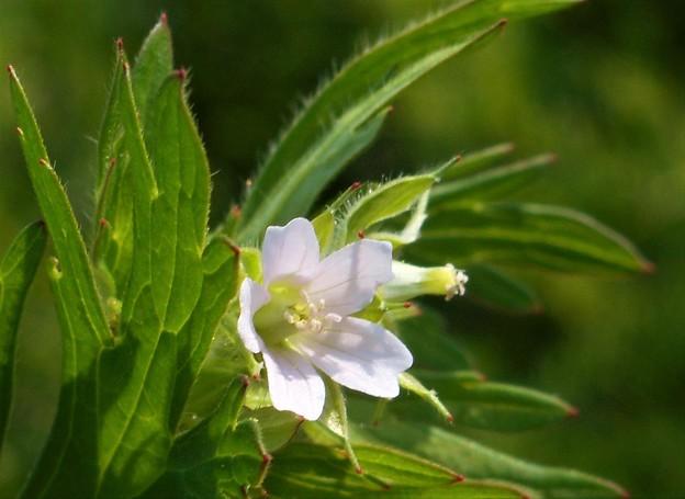 野に咲く白い花@葉桜の頃21.4.21
