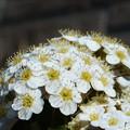 コデマリの白い花@新緑の候21.4.21