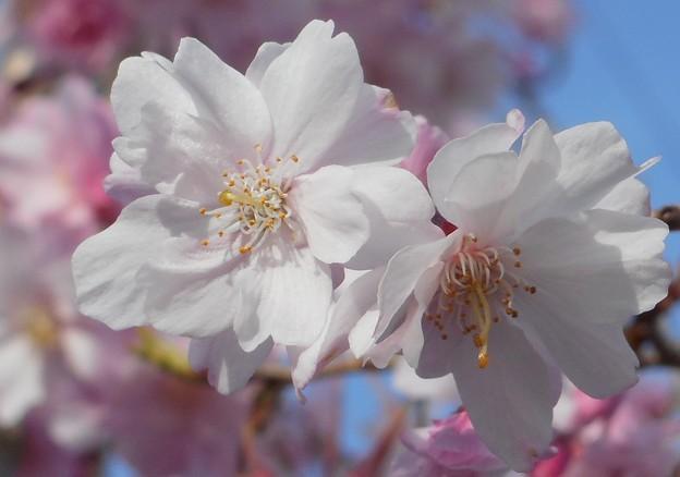 八重の紅枝垂れ糸桜@千光寺山