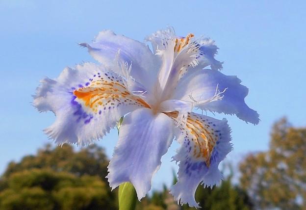 青空に咲く シャガの花@千光寺山
