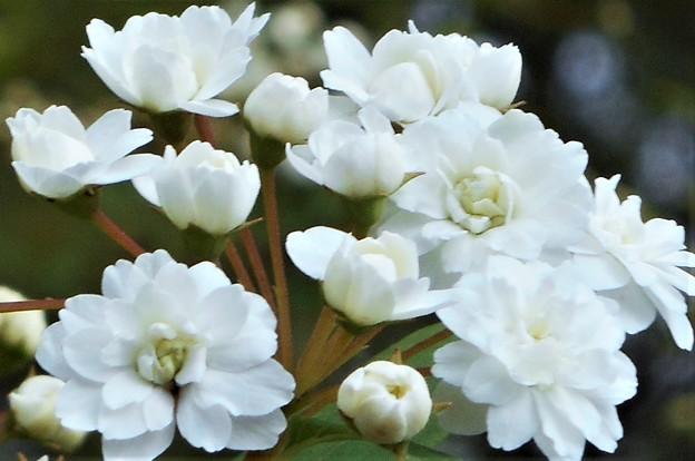 白い小花たち@瑠璃山