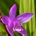 Photos: 紫蘭の咲く頃@新高山