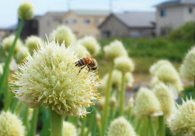ネギ畑とミツバチ@21.4.27