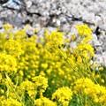 満開の桜と菜の花21.3.31