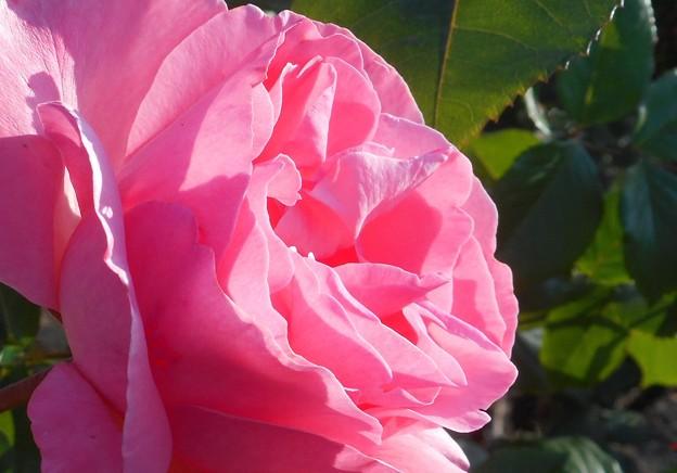 散歩道に咲く@五月の薔薇21.5.3