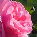 Photos: 散歩道に咲く@五月の薔薇21.5.3