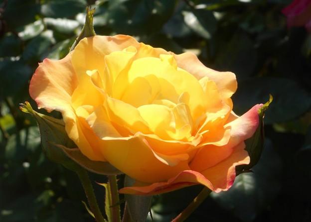 五月のオレンジ色の黄色いバラ@21.5.3