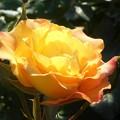 Photos: 五月のオレンジ色の黄色いバラ@21.5.3