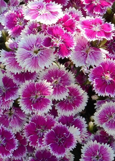 Photos: 五月に咲く ナデシコの花@21.5.3