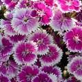 五月に咲く ナデシコの花@21.5.3