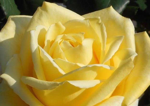 五月の薔薇の甘い香り@21.5.3