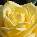 Photos: 五月の薔薇の甘い香り@21.5.3