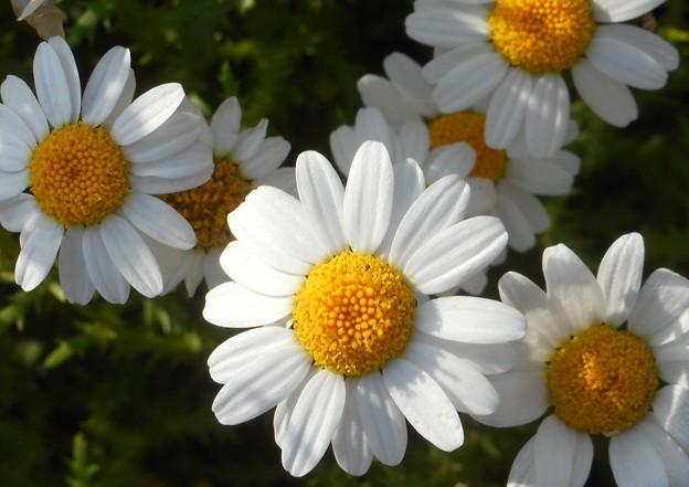散歩道に咲く ヒナタボッコの花@21.5.6