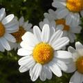 散歩道に咲く キク科の白い花@21.5.6