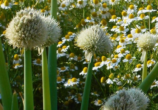 畑のネギ坊主とキク科の白い花@憲法記念日