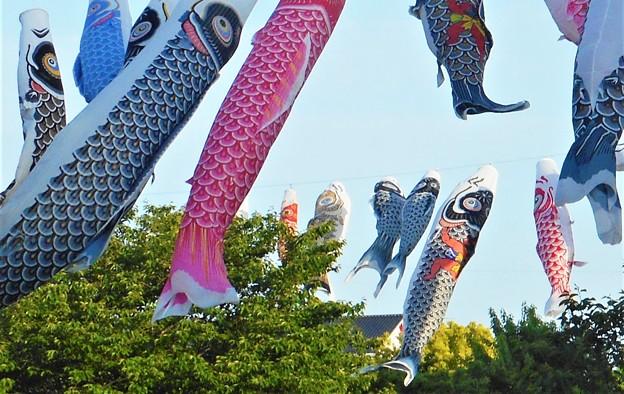 屋根より高い鯉のぼり@21.5.6