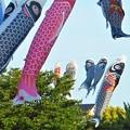 Photos: 屋根より高い鯉のぼり@21.5.6