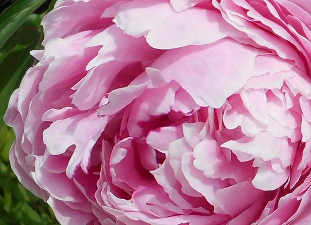Photos: 新緑に咲く牡丹(ボタン)の花@21.5.9