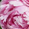 新緑に咲く牡丹(ボタン)の花@21.5.9