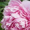 Photos: 五月の牡丹の花@21.5.9
