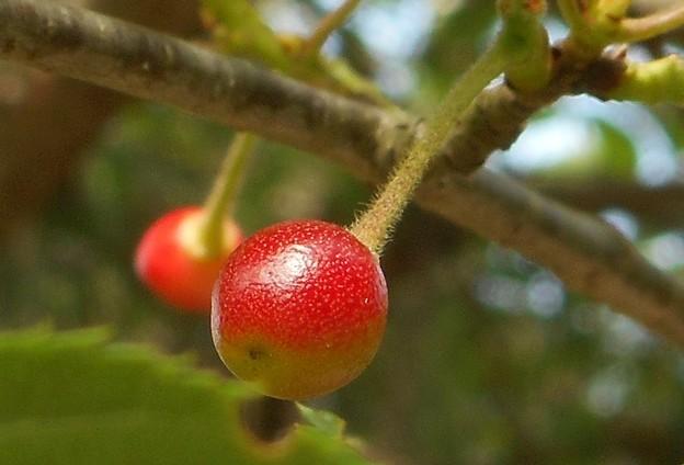 リンゴのホッペ色した@山桜のサクランボ@瑠璃山