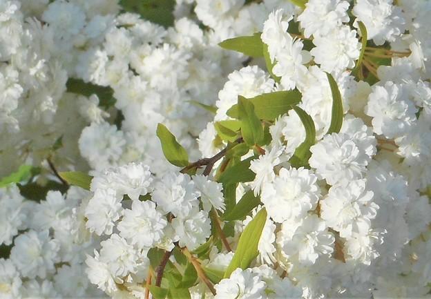 散歩道に咲く白い花