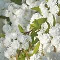 Photos: 散歩道に咲く白い花