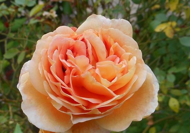 梅雨空に咲くバラの花