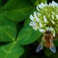 キュートなミツバチ蜜活中@クローバーの花