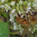 ミツバチとシロツメグサ