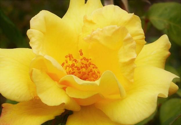 梅雨に咲く 黄色い薔薇