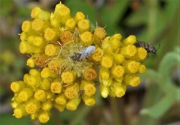 母子草(ハハコグサ)と昆虫たち