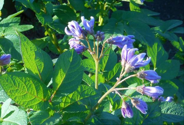 馬鈴薯の花(蕾)@ジャガイモ畑